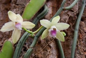 Two vanilla flowers.