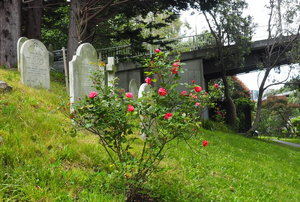 old rose bush next to grave markers