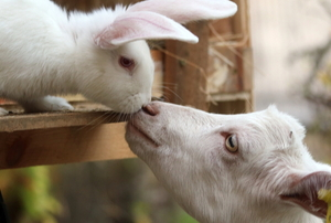 white bunny and goat nuzzling noses