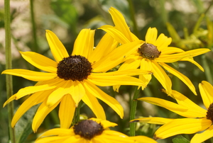 A close look at a few flowering black-eyed Susans.