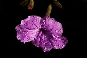 A Mexican petunia with water droplets on its purple petals.