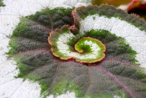 The colorful and dazzling leaf of a begonia.