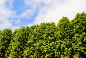 A hedge of arborvitae trees with a patch of blue sky of above.
