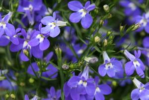 blue lobelia flowers like small pansies