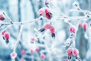 Frost on berries.