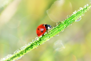 ladybug on grass with frost or ice