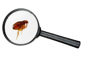 Protect Yourself From These 4 Types of Fleas