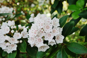 white mountain laurel in bloom