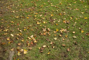 A lawn with autumn leaves.