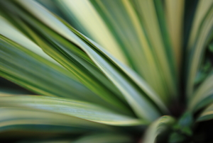 A close-up of a yucca plant's leaves.