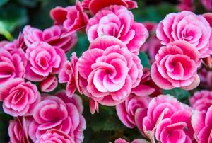 Pink begonia flowers