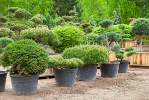 A row of shrubs in pots.