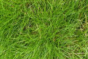 long fescue grass