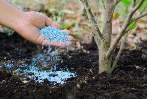 Dropping blue fertilizer pellets into the soil near a plant