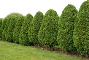 A row of arborvitae bushes