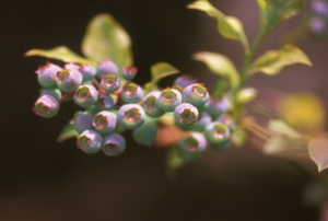 A blueberry bush.