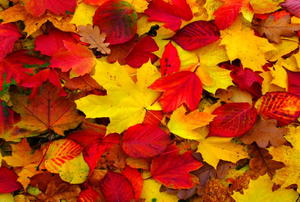 Red and yellow fall leaves on the ground.