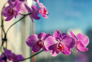 Orchids by a window.