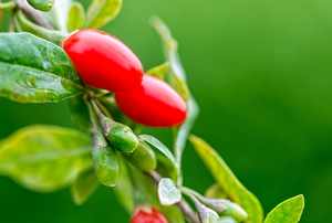 goji berries growing on a leafy branch