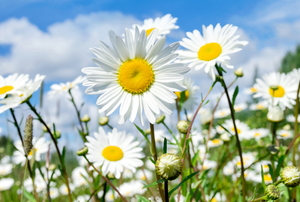 large white and yellow daisies growing outside