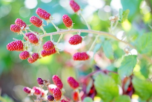 Raspberry Bushes:  How And When To Prune Them