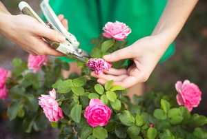 A gardener pruning off dead pink flowers from a bush.