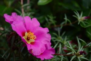 Moss rose.