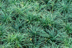 thick green grass