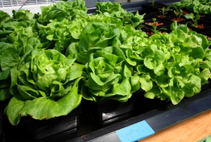 Lettuce crop growing without soil.