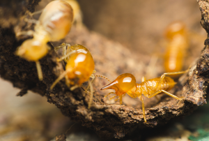 A close up of termites on wood