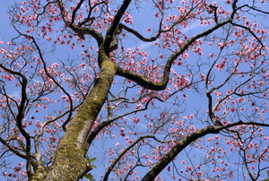 magnolia tree with blossoming branches