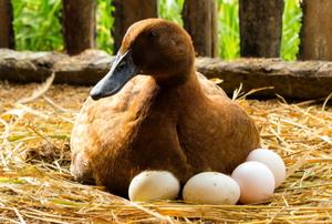duck sitting on eggs in hay