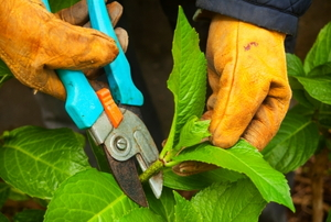 A gardener wearing gloves and pruning the hydrangea.