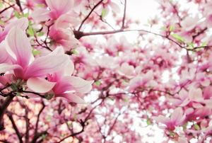 Pink flowers on a blooming tulip tree
