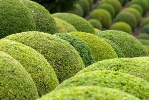 Evergreen trees carved into circular shapes.