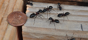 Prevent Carpenter Ants from Invading Your Home