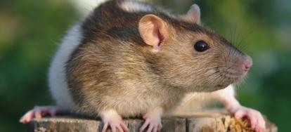 4 Natural Rat Control Methods