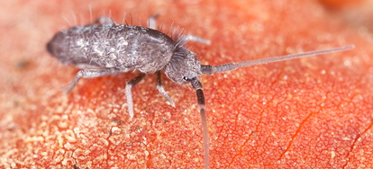 5 Ways To Kill Springtails In Your Home Doityourself Com