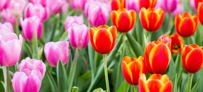 Knowing how to dig up tulip bulbs properly will make them last a long time, so they will blossom every spring. Like other spring flowers, tulip bulbs have a ...