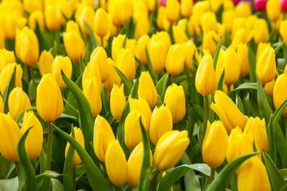 Yellow tulips in a garden.