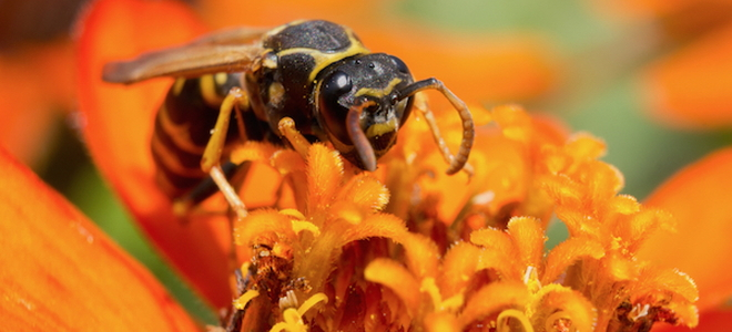 how to kill yellow jackets using natural products. Black Bedroom Furniture Sets. Home Design Ideas