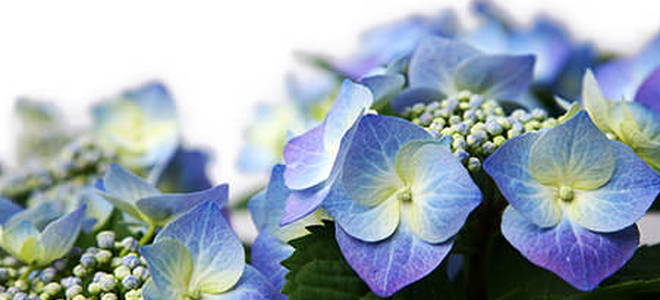 dividing hydrangeas  doityourself, Beautiful flower