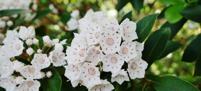 3 Tips For Pruning A Mountain Laurel Doityourself Com