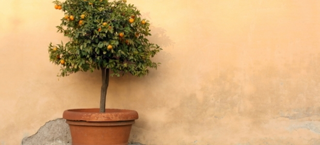 Patio Trees Grown in a Container DoItYourselfcom