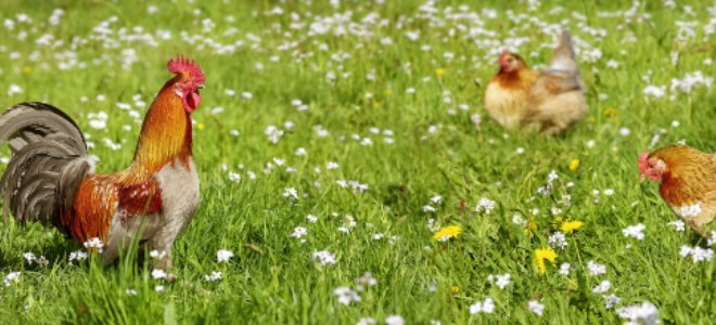 chickens in a field with small flowers