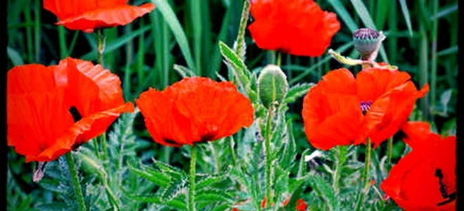 Everything you need to know about oriental poppies doityourself mightylinksfo
