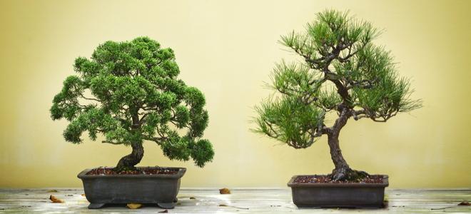 Bonsai Tree for Feng Shui