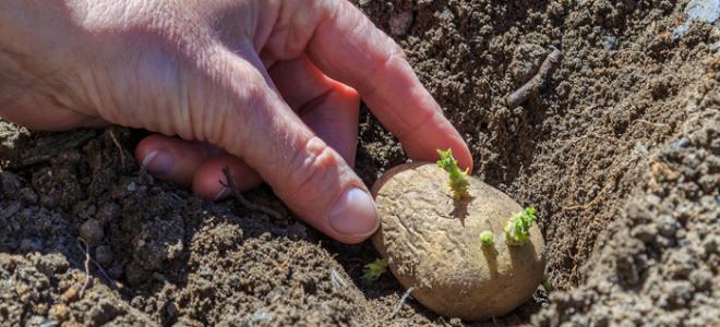 How To Prepare Seed Potatoes Plant Doityourself