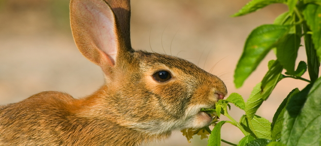 How to Catch a Wild Rabbit in Your Yard | DoItYourself.com