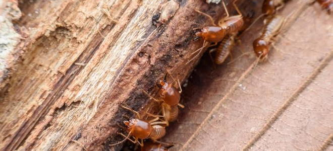 Drywood Termite Treatment - The Preventive Measures